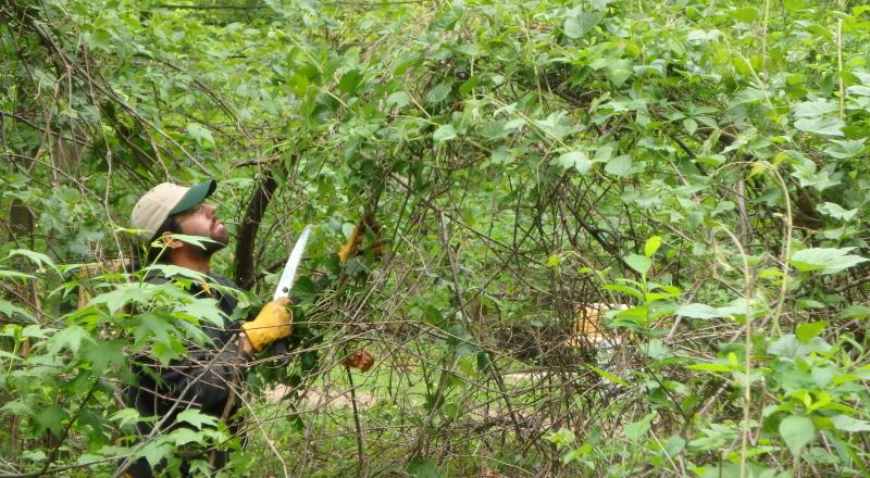 Invasives Strike Force crew member cutting invasive plants. Photo by Matt Simonelli.